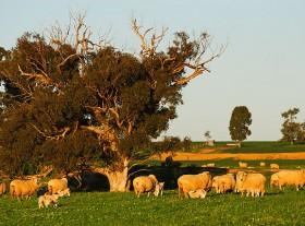 Livestock Management (Sheep)